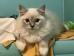 Blue LYNX Mitted female